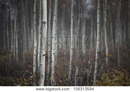 Trunks Of Small White Birch Trees