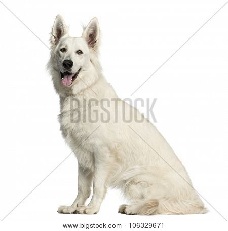 Swiss Shepherd dog sitting in front of a white background