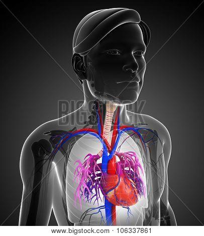 Male Heart Anatomy