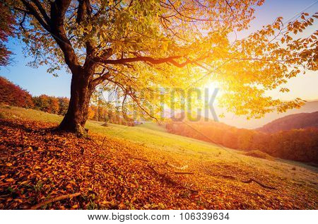 Majestic alone birch tree on a hill slope with sunny beams at mountain valley. Dramatic colorful morning scene. Red and yellow autumn leaves. Carpathians, Ukraine, Europe. Beauty world.