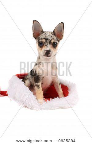 Chihuahua Christmas Present
