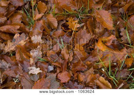 Oak Leaf Autumn Mixture