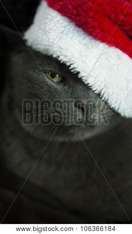 Christmas Cat - Gray Cat Santa, Christmas Pet With Santa Claus Hat