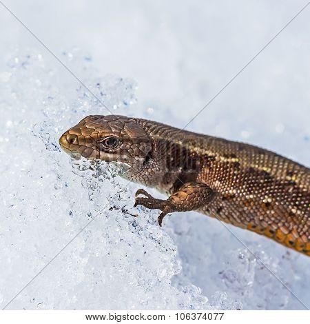 The fauna of Siberia - Sand lizard (Latin Lacerta agilis)