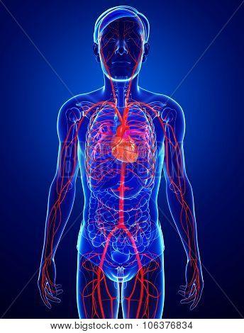 Male Arteries Artwork