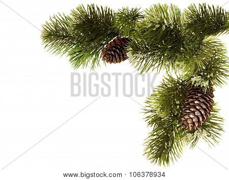 Fir branch with fir cones isolated on white