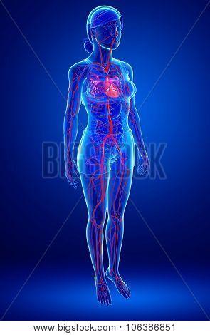 Female Circulatory System