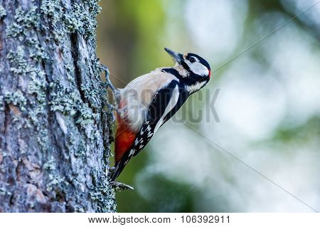 Woodpecker, The Great Spotted