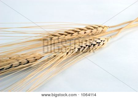 Wheat Heads
