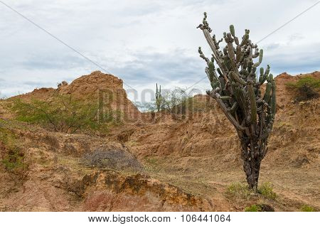 Tall And Bushy Cactus In Tatacoa Tropical Dry Forest