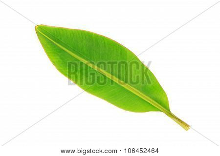 Green leaves banana on white background, Geen color.
