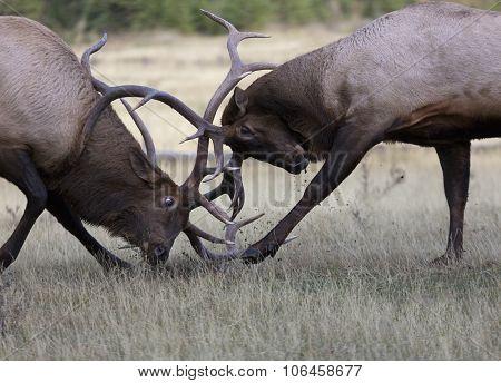 Battling Bull Elk In Rut Season