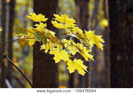 Maple Leaves   In Autumn Forest.