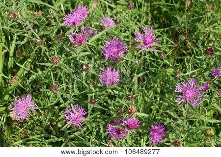 Greater knapweed in meadow