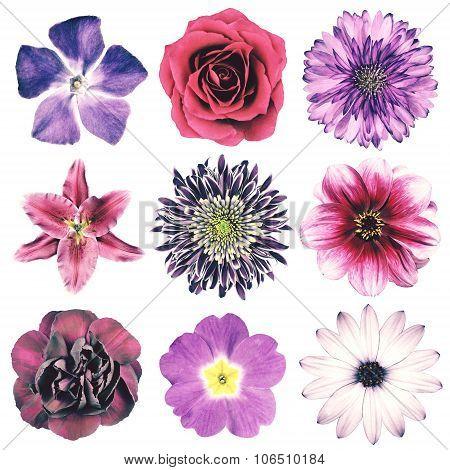 Selection of Various Flowers in Purple Vintage Retro Style Isolated on White Background. Daisy Chrystanthemum Cornflower Dahlia Iberis Primrose Gerbera Rose. poster