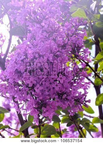 Judas-tree. Redbud tree. Spring Background. Spring blossoming trees.