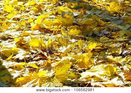 Selective Focus On The Yellow Fallen Autumn Maple Leaves Closeup
