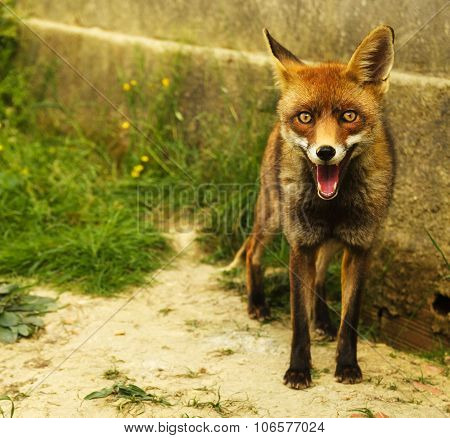 Red Fox Standing And Looking At The Camera