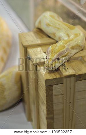 Gold Boa