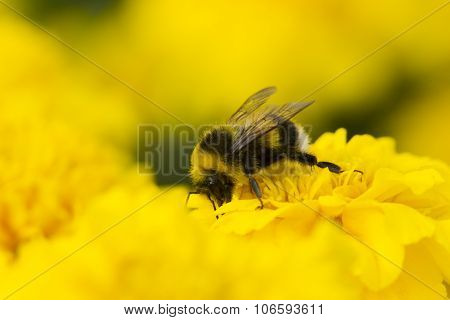 Bumblebee Collecting Pollen