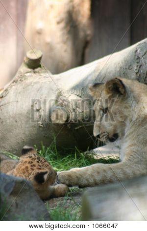 Lions 47