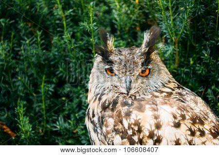 The Eurasian eagle-owl is a species of eagle-owl