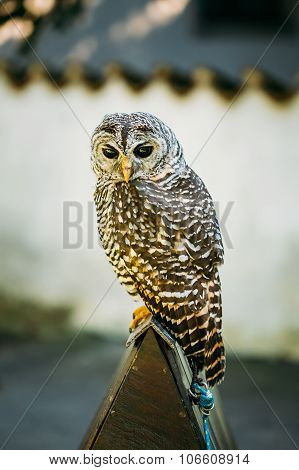 The rufous-legged owl - Strix rufipes - is a medium sized owl with no ear tufts. Wild bird poster