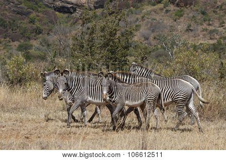 Zebra (Grevy's)