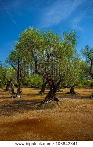 A olive grove.