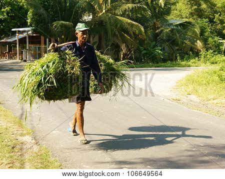 AN GIANG VIET NAM- SEPT 20: Vietnamese old man carry grass basket on shoulder he walking on countryside road this green grass as food for cattle Angiang Veitnam Sept 20 2014 poster