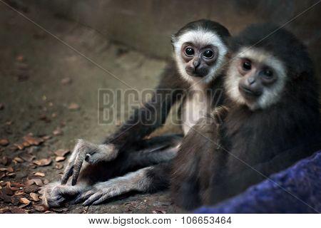 Marmoset monkey portrait in zoo indoor