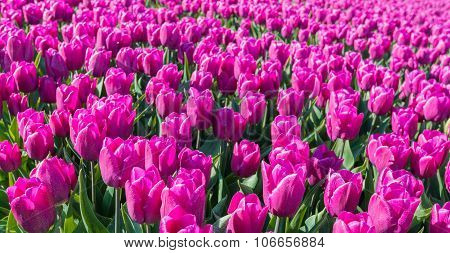 Dark Pink Blooming Tulips From Close