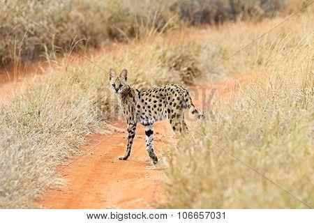 Serval Tsavo