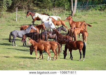 Group of purebred horses eating grass on pasture