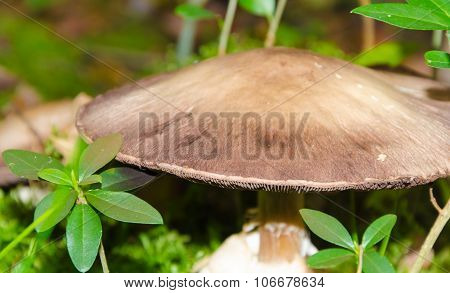 agaricus silvaticus - scaly wood mushroom - blushing wood mushroom  - pinewood mushroom