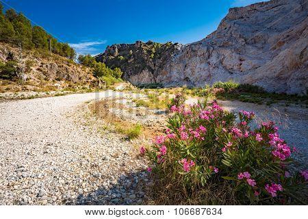 Flowers Oleanders Blooming In Flowering In Dry River Bed Rio Chi