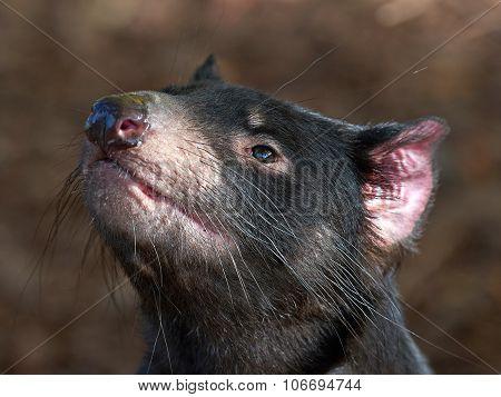 Tasmanian Devil (sarcopilus Harrisii)