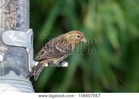 Lesser Redpoll on a garden feeder