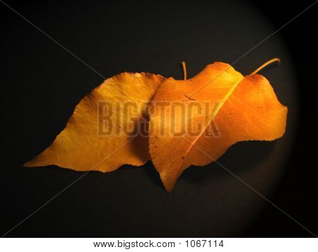 Two Fall Leaves
