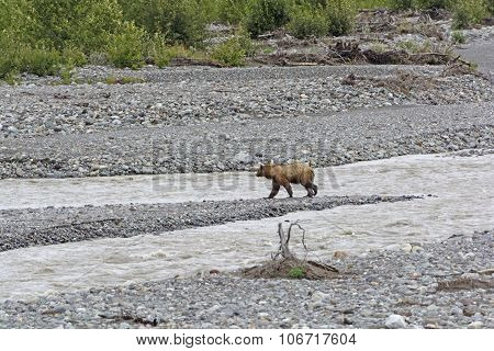 Grizzly Bear Crossing A Wilderness River