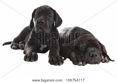 Two Black Great Dane Puppies, Studio Shot, Isolated On White.