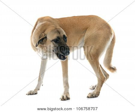 Aggressive Anatolian Shepherd Dog