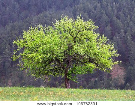 Beautiful tree  in spring on a meadow in the mountains with pine trees
