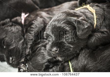 Small Group Puppi Breed Miniature Schnauzer
