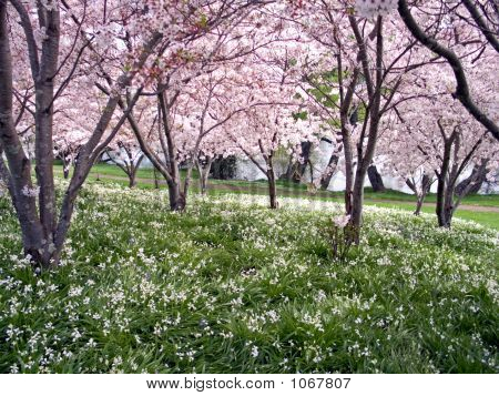 Bluebell'S And Cherry Blossom