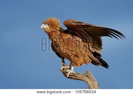 Young, immature bateleur eagle (Terathopius ecaudatus) on a branch, Kalhari desert, South Africa