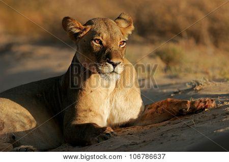 A lioness (Panthera leo) lying down in early morning light, Kalahari desert, South Africa