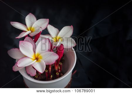 Isolate fragrant lovely flower plumeria or frangipani on black background