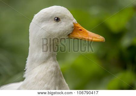 Pekin duck portrait on a riverbank close up