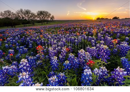 Texas wildflower - bluebonnet and indian paintbrush filed in sunset. poster